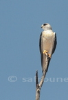 Black-shouldered Kite / Elanion blanc