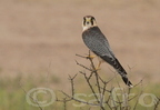Red-necked Falcon / Faucon chicquera