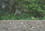 Bergeronette des ruisseaux/Grey Wagtail