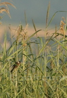 Bruant des roseaux / Common Reed Bunting