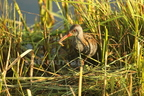 Râle d'eau/Water Rail