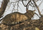 AWC African Wild Cat/Char sauvage africain