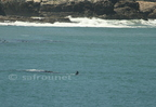 Souther Right Whale/Baleine franche