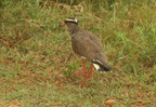 Crowned Lapwing(Plover)/Vanneau Couronné