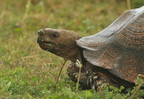Mountain Tortoise/