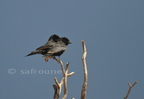 Fork-tailled Drongo/Drongo brillant