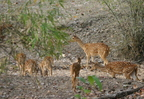 Cerf Axis ou Chital