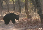 Ours Lippu/Sloth Bear