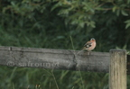 Pinson des arbres/Common Chaffinch