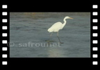 Egret on ice