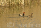 Nette rousse / Red-crested Pochard