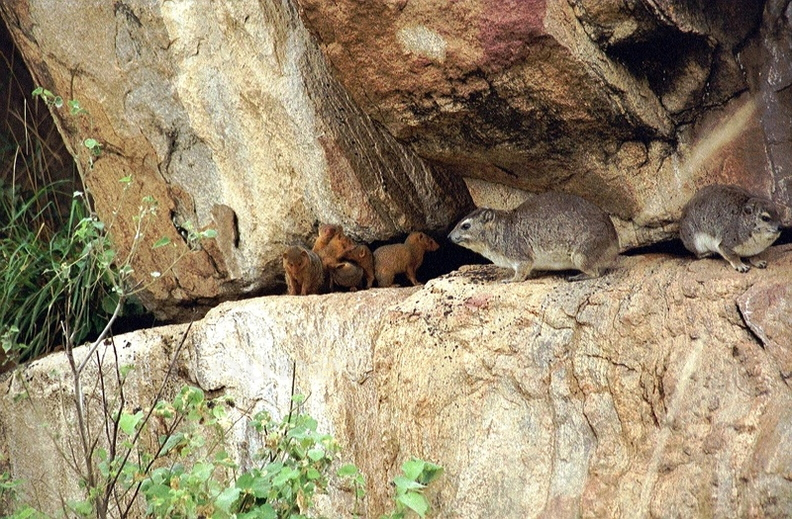 Dassie (Rock Hyrax)+Banded Mongoose