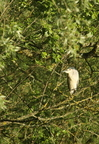 Bihoreau gris/Black-crowned Night-Heron