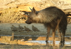 Hyène brune/Brown Hyena