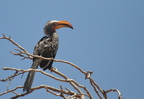 Southern Yellow-billed Hornbill/Calo leucomèle