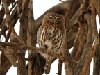 Peral-spotted Owlet. mum calling