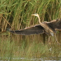 Héron pourpré/Purple Heron||<img src=./_datas/5/z/8/5z83hw7grq/i/uploads/5/z/8/5z83hw7grq//2015/07/28/20150728183110-731860c1-th.jpg>