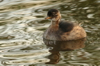 Grèbe castagneux/Little Grebe