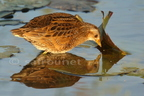 Marouette ponctuée/Spotted Crake