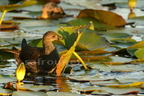 Gallinule poule-d'eau/Common Moohren