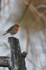 Rougegorge familier/European Robin