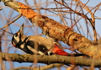 Pic épeiche/Great Spotted Woodpecker