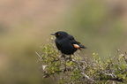 Pale-winged Starling/Rufpenne nabouroup