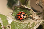 insecte - coccinelle