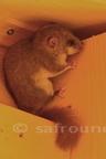 Loir gris/Edible dormouse