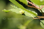 Rainette verte/European tree Frog