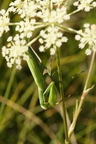 Mante religieuse/Praying Mantis