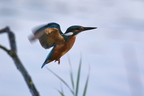 Martin pêcheur d'Europe/Common Kingfisher