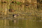 Sarcelle d'été/Garganey