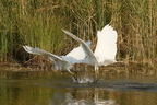 Grande Aigrette/West. Great Egret