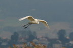 Grande Aigrette/Western Great Egret