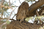 Verrerau'x Eagle Owl/Grand Duc de Verreaux