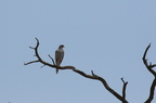 Red-footed Falcon/Faucon kobez