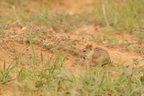 Four-striped Grass Mouse/Rhabdonys Pumilio