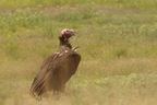 Lappet-faced Vulture/Vautour Oricou