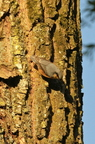 Sitelle torchepot/European Nuthatch