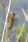Bruant des roseaux/Common Reed Bunting