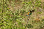 Guêpier d'Europe/Europeen Bee-Eater
