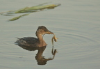 Grebe castagneux/Little Grebe