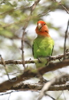 Rosy-faced Lovebird/Inséparable rosegorge