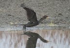 Grand Cormoran/Great Cormorant