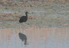 Ibis falcinelle/Glossy Ibis