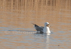 Goeland brun/Lesser black-backed Gull