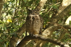 dad Spotted Eagle-Owl