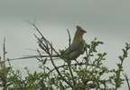 Red-faced Mousebird/Coliou quiriva