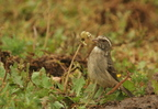 Streaky-headed Seedeater(Canary)/Serin gris